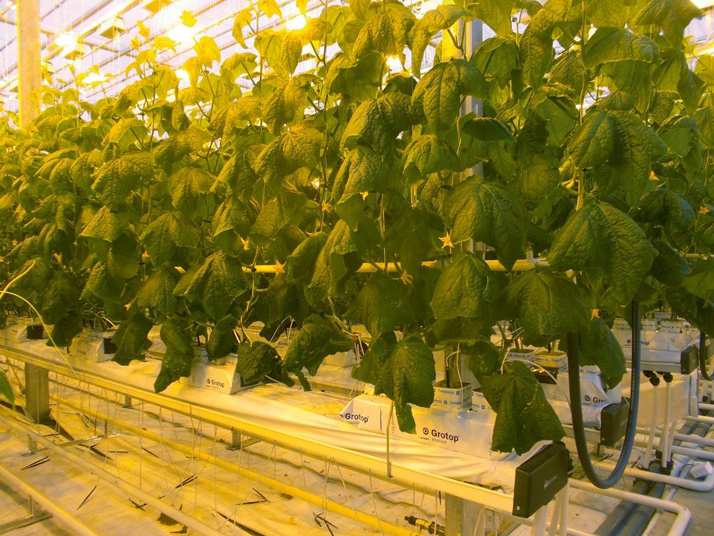 Jaunajā siltumnīcā izmanto īsākus un augstākus substrāta blokus, atstājot starp tiem vairāk vietas, kur vēlāk izvietot blokus ar jauniem augiem, kamēr vecie vēl turpinās ražot.