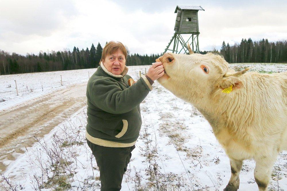 """Gunta Cunska un Fukija, viena no divām pirmajām Šarolē govīm """"Viesaku"""" ganāmpulkā."""
