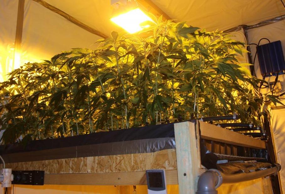 Lietuvas pierobežā atklāj marihuānas audzētavu.