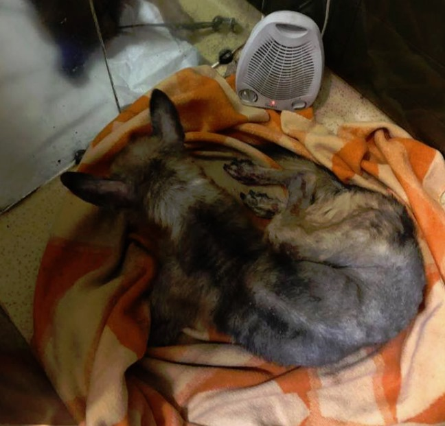 Novārdzinātais suns ir gājis bojā. Policija noskaidrojusi iespējamo vainīgo personu .