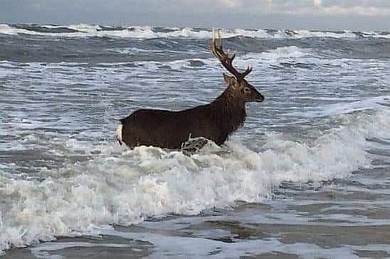 Mandžūrijas Sika briedis Ventspils pludmalē.