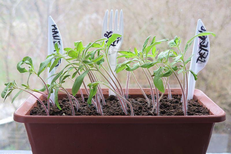 Uz palodzes audzētu tomātu dēsti bieži jāgroza, lai trauslie augumiņi neveidotos līki.
