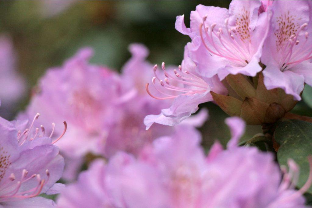 Rododendri Botāniskajā dārzā