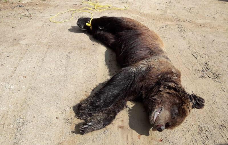 Peldējums starp salām lācim no Igaunijas šoreiz beidzies bēdīgi. Dzintara Ozola foto