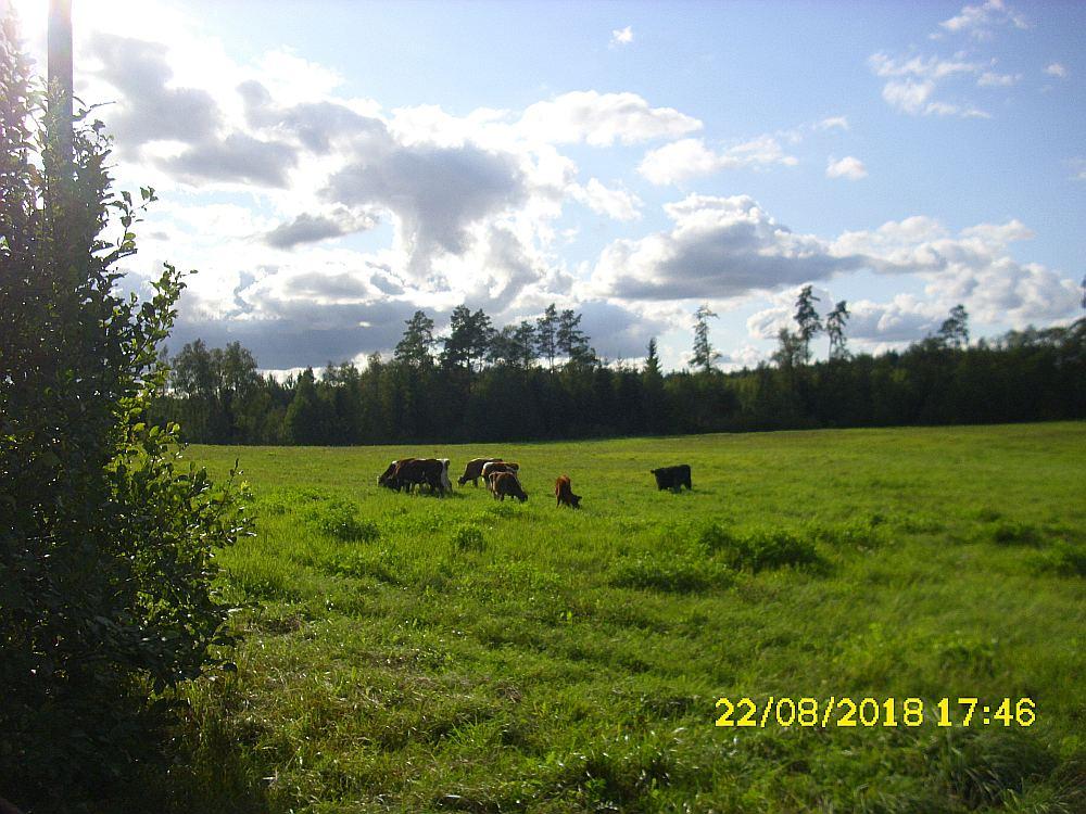Tālivalds Mežkalns pierādījumiem safotografējis, kā svešie lopi ganās viņa pļavās. Līdz ar to viņš nevar vairs piedāvāt pļaut zāli zemniekam, ar ko sadarbojas.