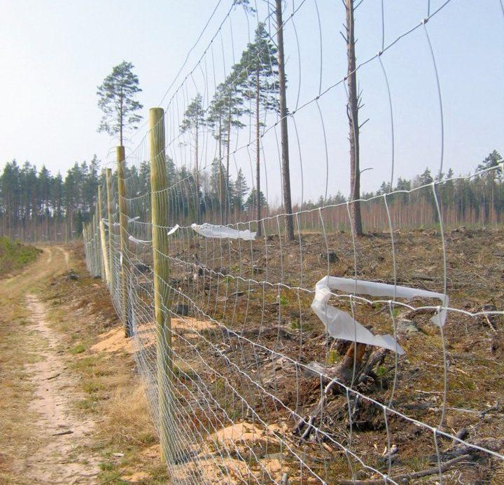 Iežogots priedes stādījums ar 1,6 m augstu žogu, žoga sietam piesietas plastmasas lentes dzīvnieku bojājumu novēršanai.