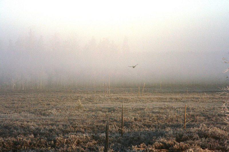 """Arī rubeni var nosaukt par projekta """"Putni Ādažos"""" veiksmes stāstu, jo, pateicoties projekta lauku darbam, Ādažu poligona teritorijā izveidojusies stabila šīs sugas populācija."""