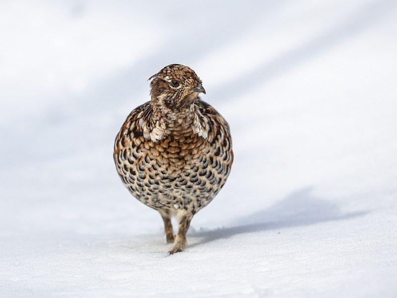 Mežirbe ir baloža lieluma rūsganpelēki baltraibs putns.