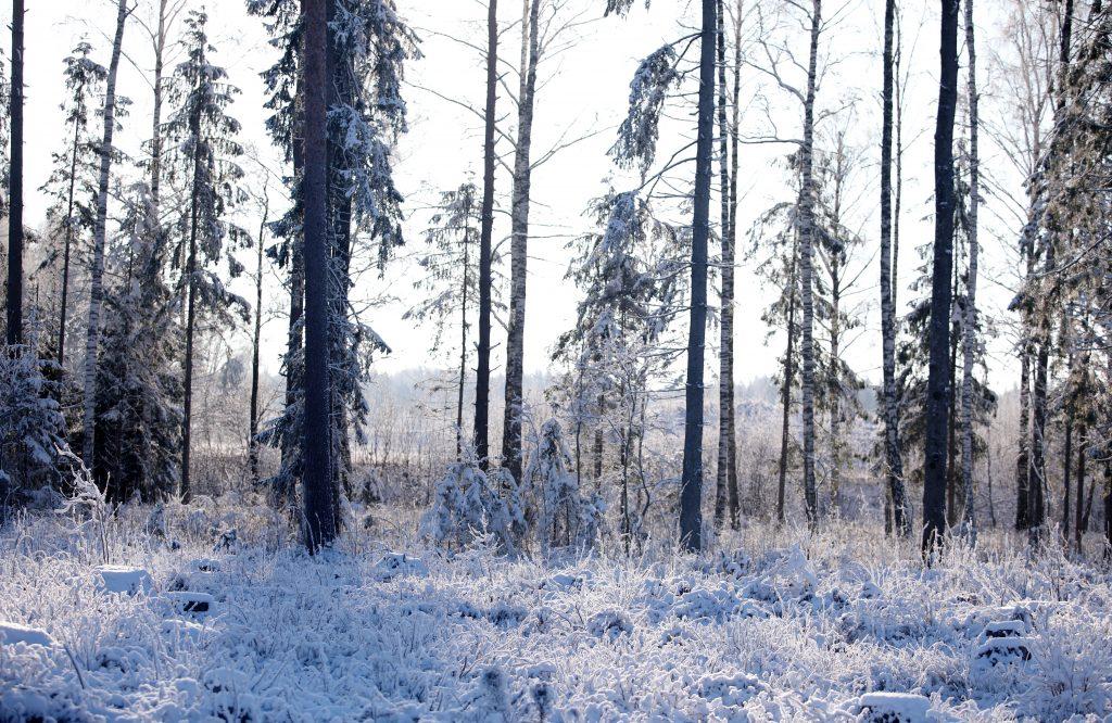 Piesnidzis mežs ziemā.