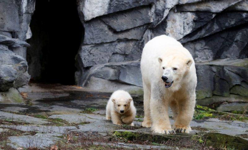 Māzā ledus lācenīte iziet pirmajā pastaigā Bērlīnes zoodārzā.