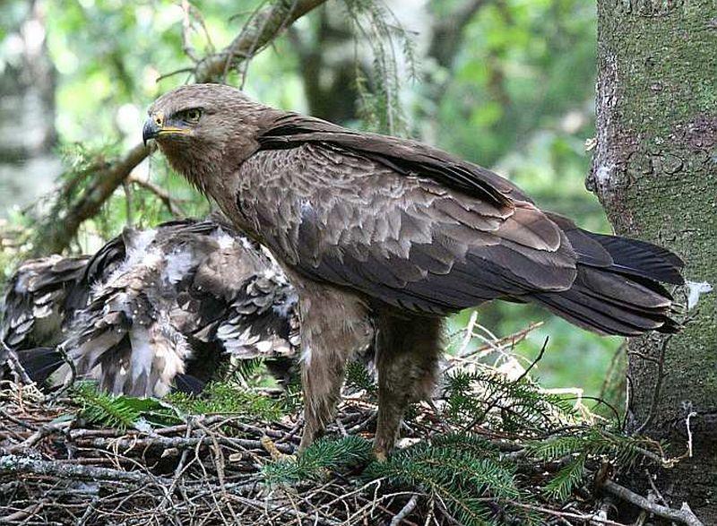 Mazais ērglis parasti ligzdu vij eglē vai bērzā.
