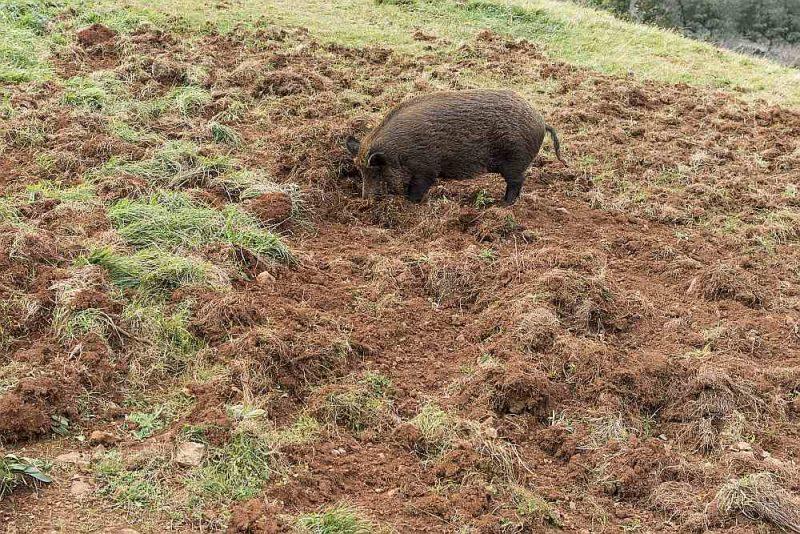 Latvijā ir uzkrāta vērtīga pieredze, kā ievērojami palēnināt Āfrikas cūku mēra izplatību mežacūkām.