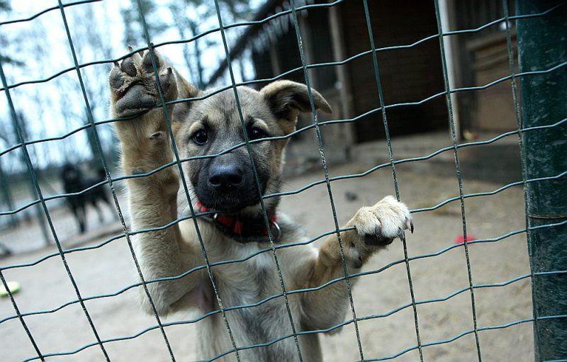 """Patlaban patversmē """"Ulubele"""" ik dienu uzturas ap 500 dzīvnieku – 200 suņi un 300 kaķi. Taču pērn tikai katrs piektais patversmē nonākušais dzīvnieks bijis čipots un reģistrēts."""