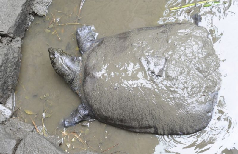 Ķīnas zoodārzā miris Jandzi milzu mīkstbruņurupucis, pēc kura nāves pasaulē palikuši vairs tikai trīs šīs sugas pārstāvji.