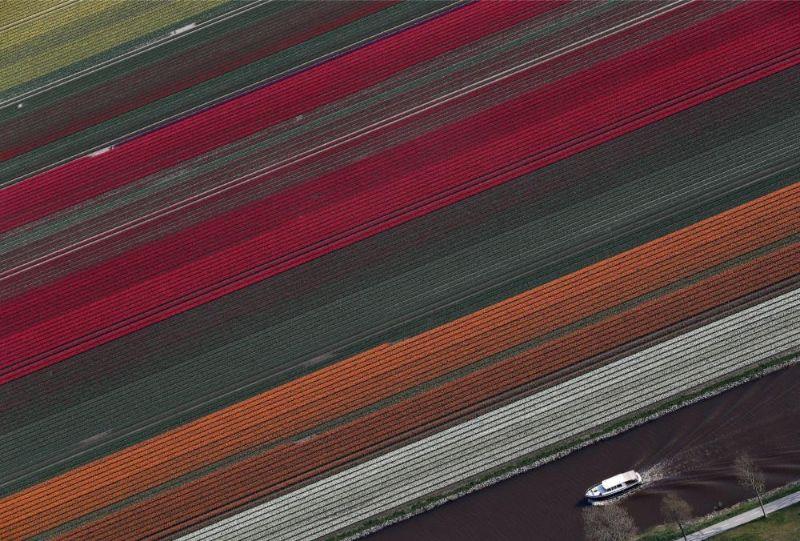 Tulpju plantācijas Nīderlandē