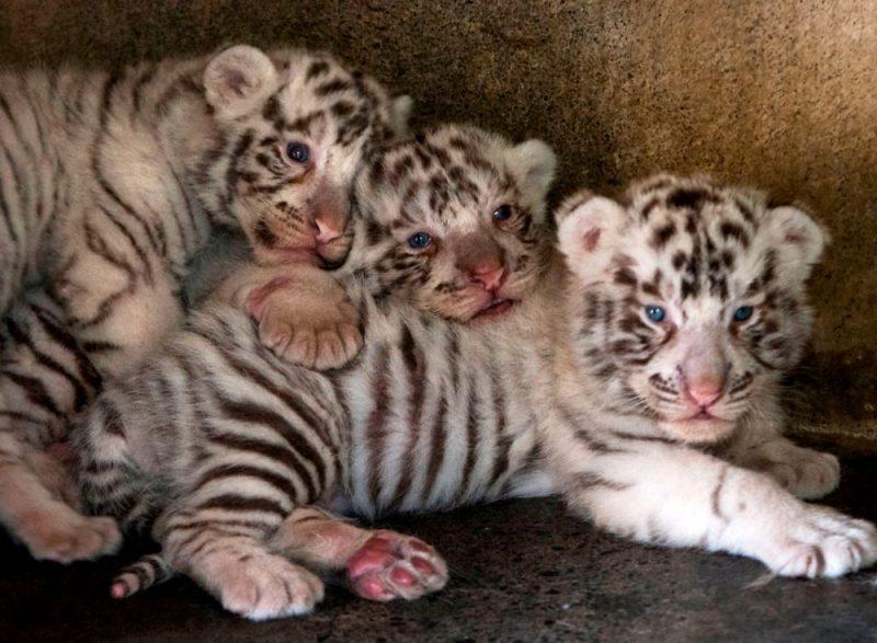 Baltā tīģera mazuļi