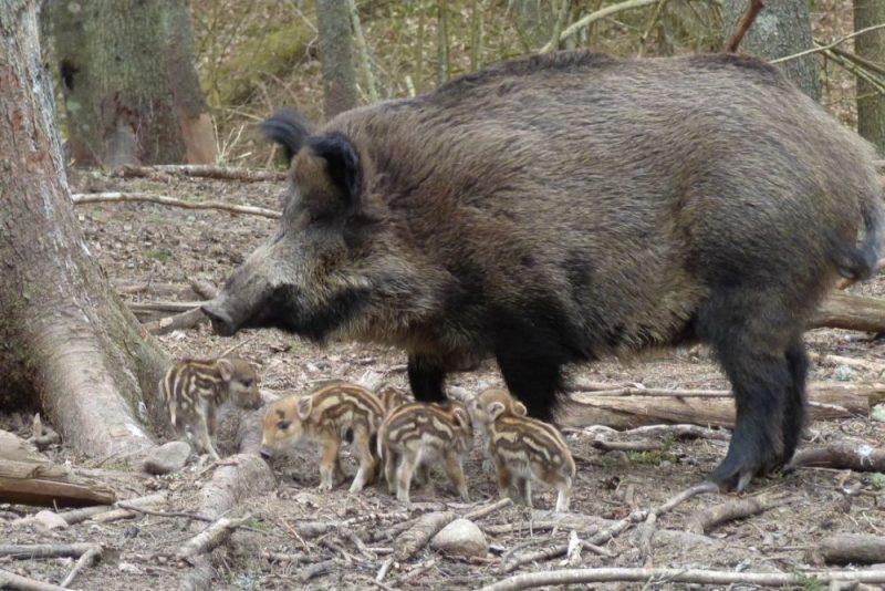 Līgatnes dabas takās piedzimuši pieci mežacūku sivēntiņi.