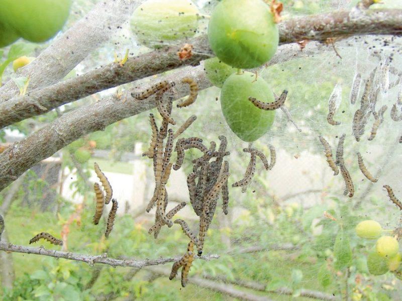 Augļu koku tīklkodes kāpuri.