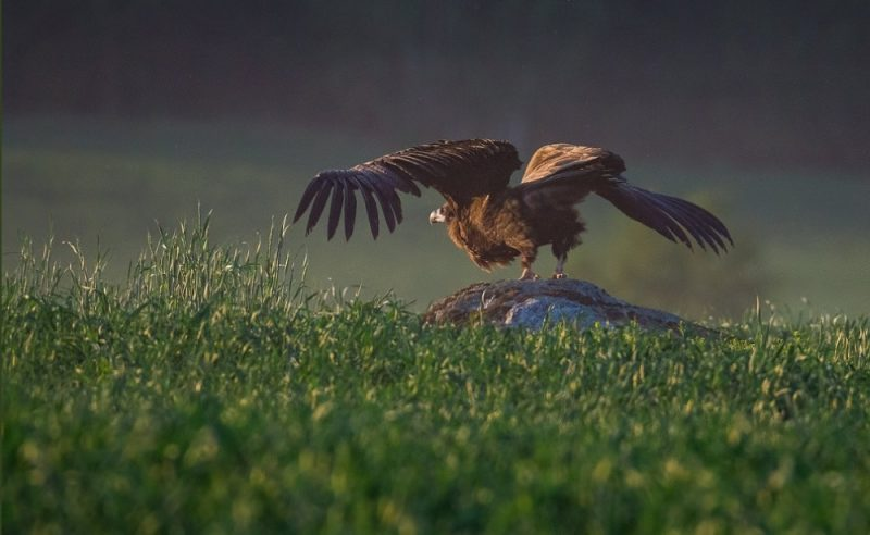 Aculiecieks Skrundas novadā novērojis retu putnu Latvijā – melno grifu.
