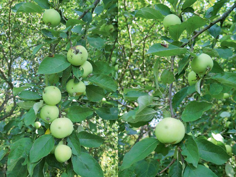 Ābolu krelles nav vēlamas ne ābelei, ne dārza saimniekam. Jo retāk augļus atstās, jo skaistāki tie būs.