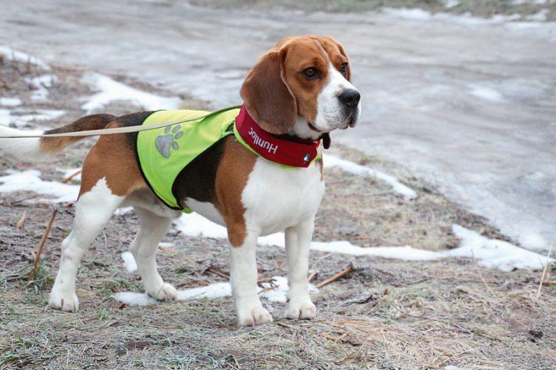 Ja ir skaidrs, ka suni atsaukt nevarēs, labāk lietot GPS siksiņu, kas pasargās no daudzām briesmām.