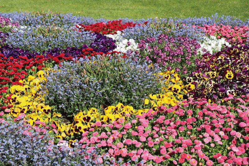 Paklājdobe no pavasara puķēm. Starp neaizmirstulītēm ir noziedējušas narcises, kuras praktiski vairs nav redzamas, jo uzmanību piesaista pārējo puķu košums.