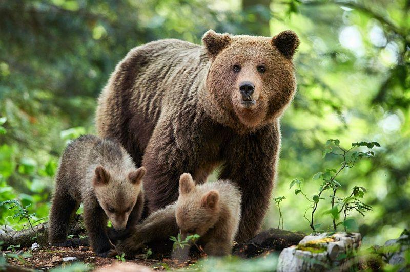 Visbiežāk uzbrukums noticis, cilvēkam sastopot lāceni ar lācēniem.