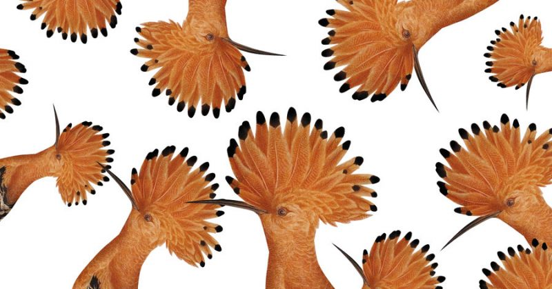 LNB svētku materiālos redzamais putna zīmējums (1809) glabājas LNB Letonikas un Baltijas centra krājumā, tā autors – Liepupes muižas Meku ģimenes ārsts Ernsts Vilhelms Drimpelmans (1760–1830).