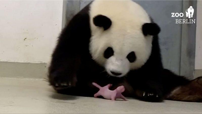 Berlīnes zoodārzā pandai piedzimuši divi mazuļi, 31.08.2019.
