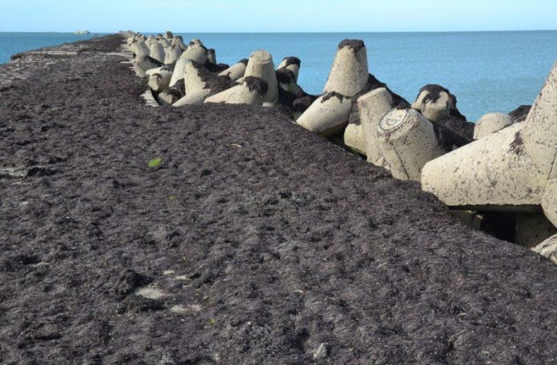 """Karostā Ziemeļu molu pirmo reizi biezā slānī klāj jūras aļģes jeb tā saucamie """"jūras mēsli""""."""