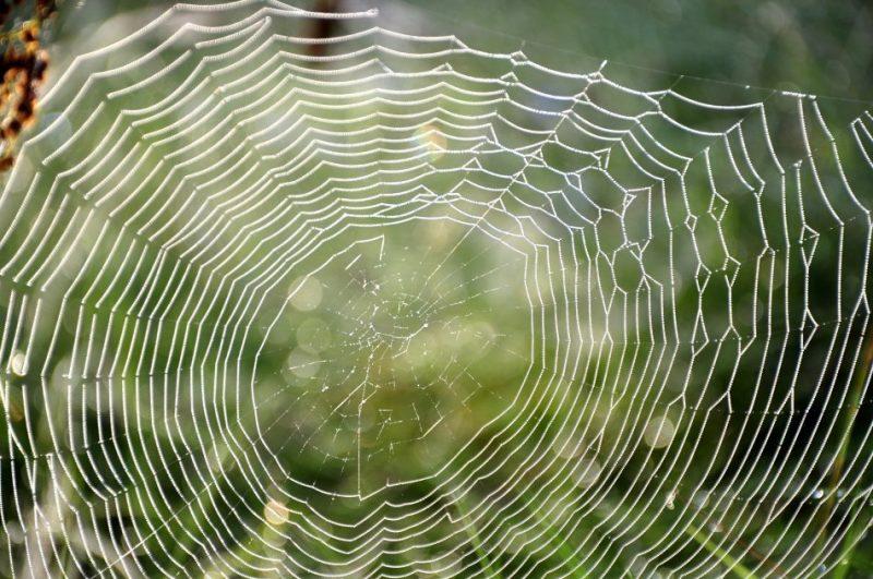 Rasa zirnekļu tīklos.