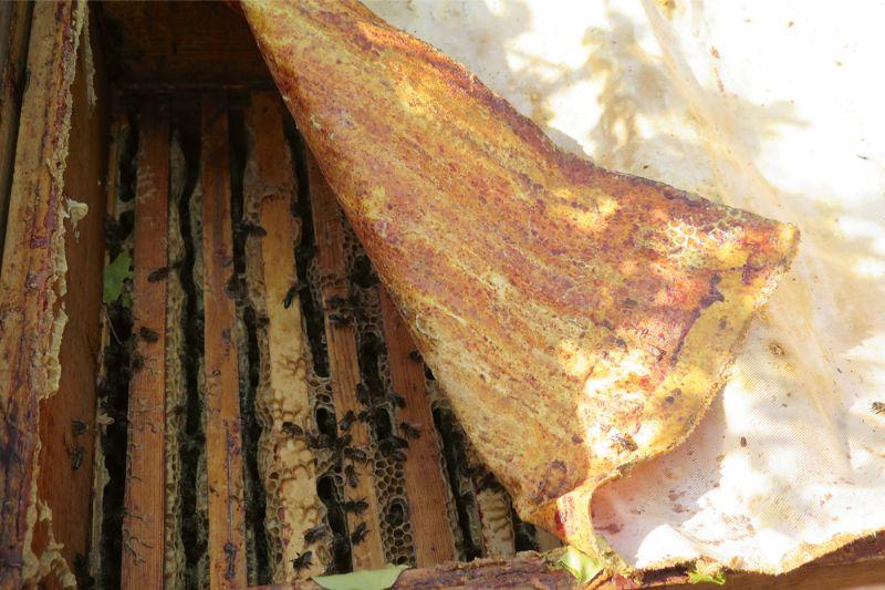 Uz bišu sedziņas ir slānis aromātiska propolisa. Bitēm uz ziemu der uzklāt jaunu, gaisu caurlaidīgāku. Šo var ielikt saldētavā, un propoliss pēc tam labi atdalīsies.