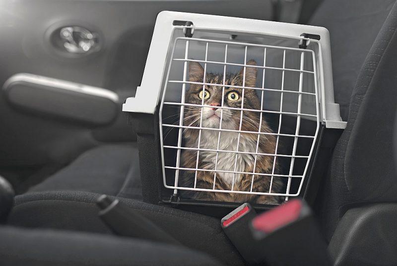Pārvadājot kaķi būrī, to noteikti vajag nostiprināt arī ar drošības jostu.