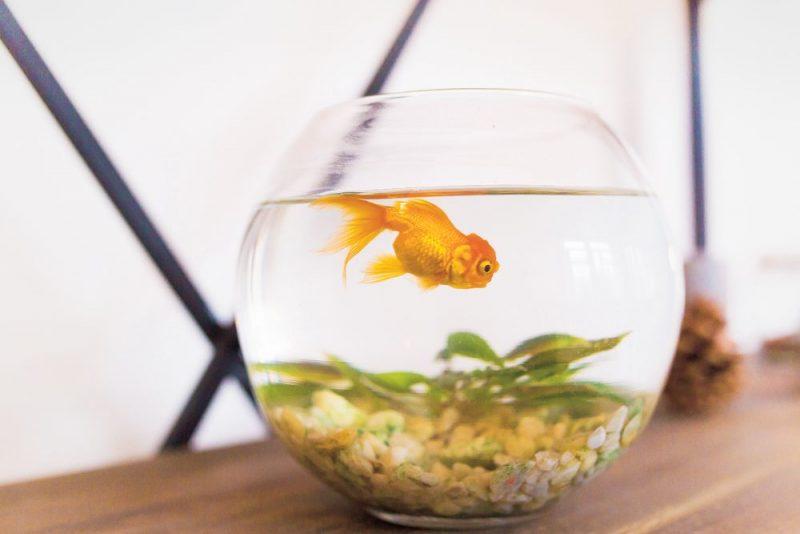 Akvārija un zivtiņu uzturēšana var šķist pavisam vienkārša – kas gan tur sarežģīts? Taču pareizi uzturēt akvāriju jāprot.