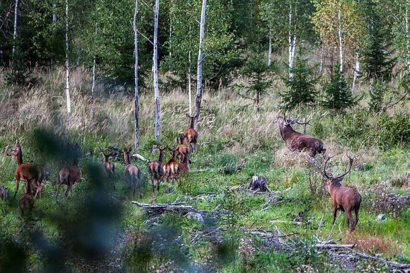 Šogad teju 400 interesentu piedalījās bezmaksas ekskursijās uz briežu bauri Karaliskajā mežā.