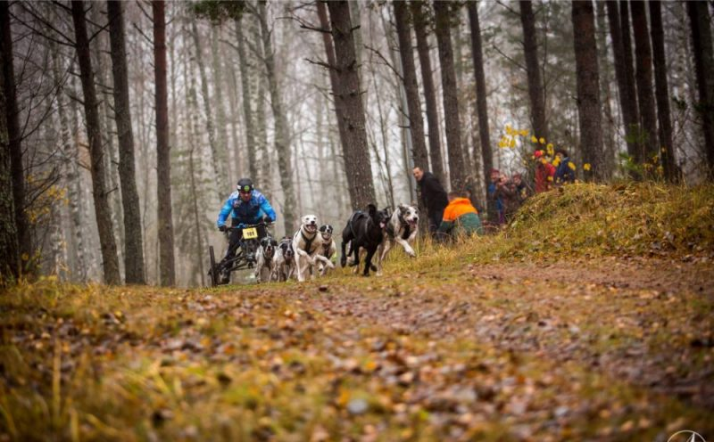 Kamanu suņu sports