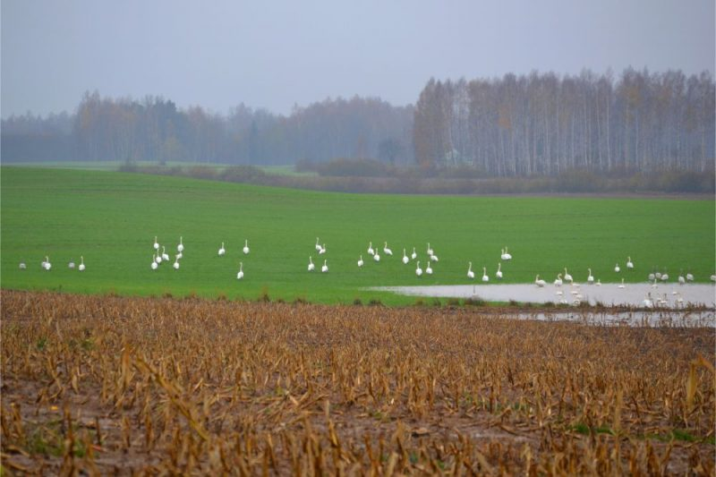 Kurzemē uz ziemāju un nopļautās kukurūzas laukiem uzturas iespaidīgi lieli ziemeļu gulbju bari.