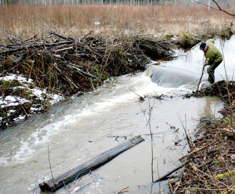 Bebru dambju jaukšana nav viegls uzdevums, bet nepieciešams pasākums, lai atjaunotu ūdensteci. Lai pārliecinātu bebru pārvākties, dabis nereti jājauc vairākas reizes.