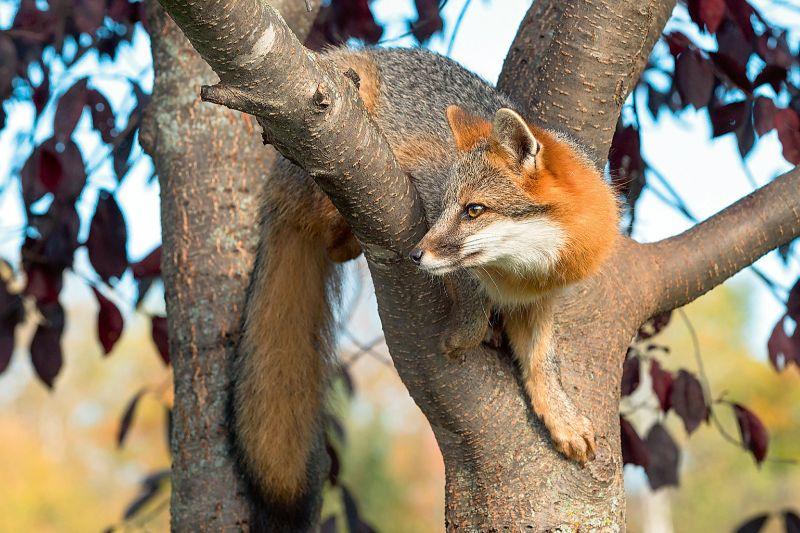 Pelēkā lapsa kokā.