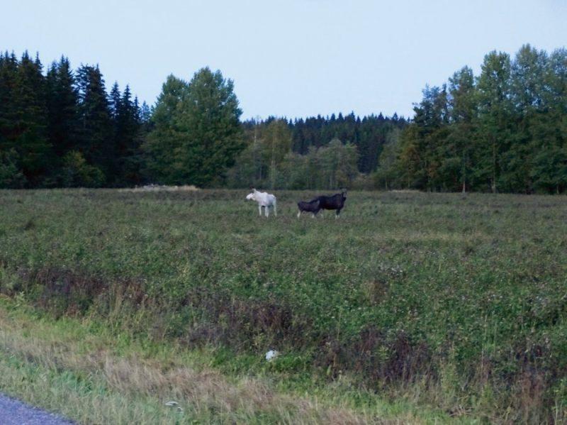 Baltais alnis Somijas pļavās.