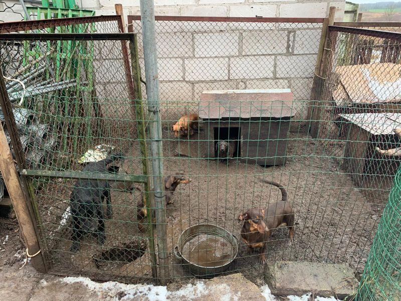 Nobadinātie suņi turēti nežēlīgos apstākļos.
