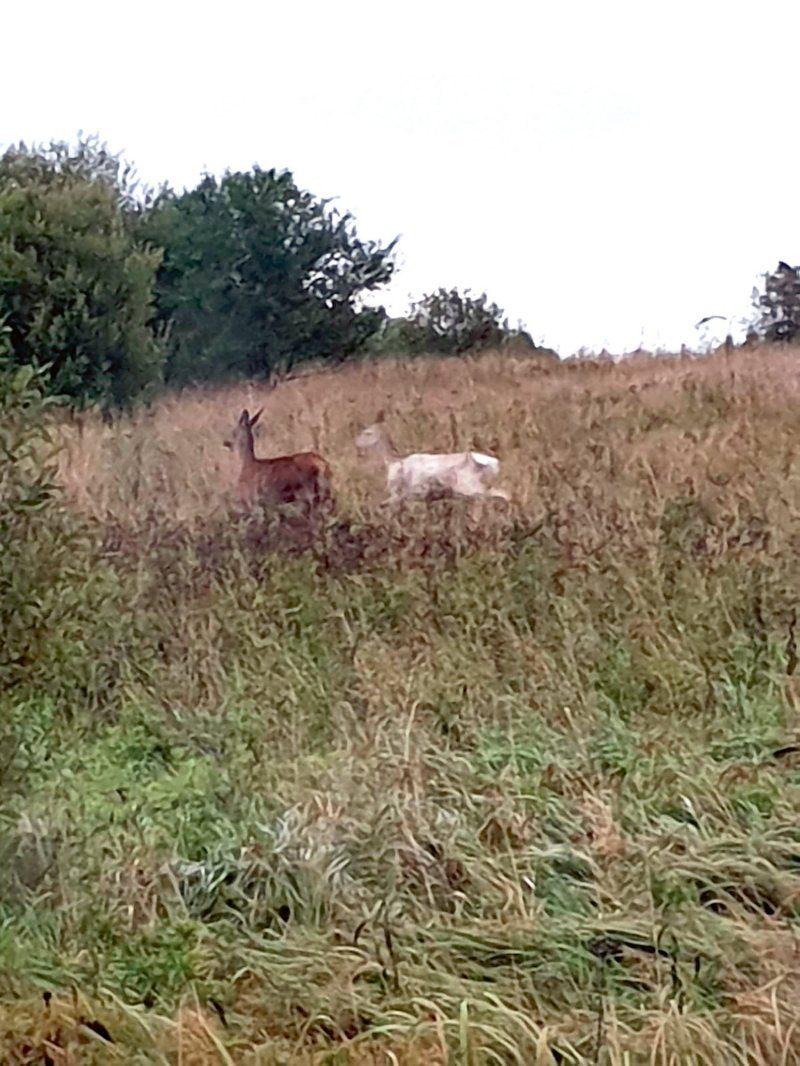 Uz pelēcīgi lauka dzīvnieks redzams tālu.