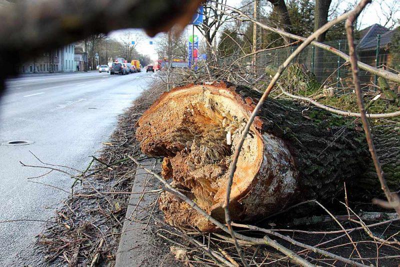 Pie tilta uz A.Deglava ielas Rīgā nogāzies satrūnējis koks.