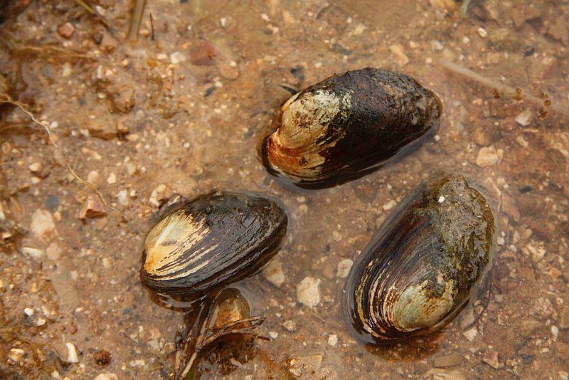 Tukšas čaulas var konstatēt ūdenstilpēs vai to krastos. Dzīvas gliemenes uzturas gandrīz pilnībā vai daļēji ierakušās gruntī.