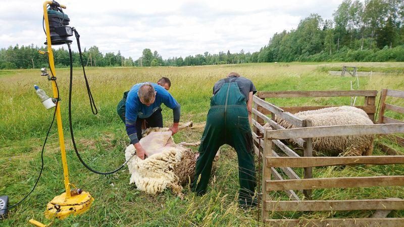 Ja nepieciešams nocirpt vien dažus dzīvniekus, to var izdarīt ganībās.
