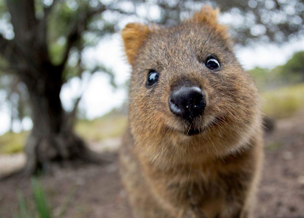 Īsastes ķenguri mitinās Austrālijā un pieaugušā vecumā sver līdz 3 kg.