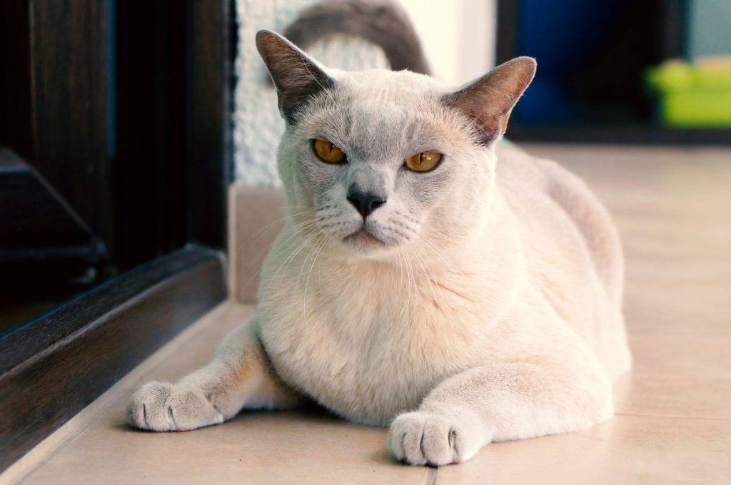 Burmas šķirnes kaķis Enzo.
