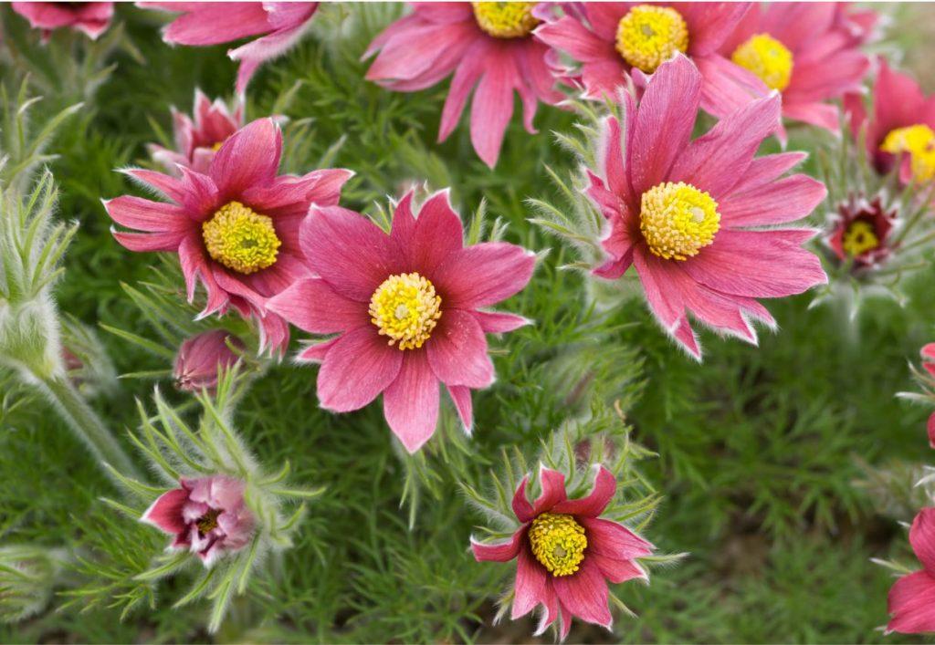 Parastā silpurene, sarkanā varietāte (Pulsatilla vulgaris var. Rubra).
